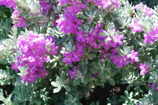 Texas sage flowers
